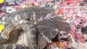De krab is gemaskeerd in anemoon op zoek naar voedsel op schone duidelijke zeebedding onderwater stock video