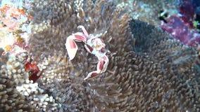 De krab is gemaskeerd in anemoonactinia op schone duidelijke zeebedding onderwater van de Maldiven stock videobeelden