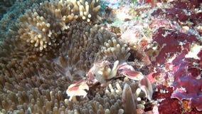 De krab is gemaskeerd in anemoonactinia op schone duidelijke zeebedding onderwater van de Maldiven stock video
