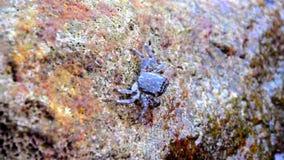 De krab op een steen, sluit omhoog mening stock footage
