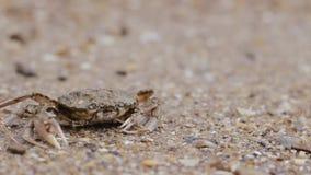 De krab op het strand gaat in het water stock video