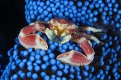 De krab van de anemoon Stock Afbeelding