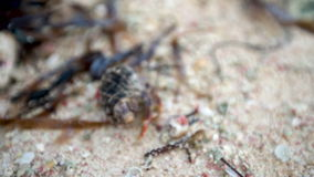 De krab van de kankerkluizenaar loopt het zand op tropisch eilandstrand Punta Cana stock videobeelden