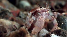 De krab van de kankerkluizenaar onderwater op zoek naar voedsel op zeebedding van Witte Overzees stock video
