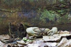 De Krab van de kip bij eiland Tachai Royalty-vrije Stock Foto's