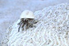 De krab van de kluizenaar Royalty-vrije Stock Foto