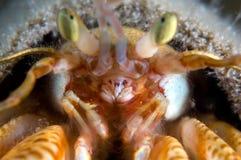 De krab van de kluizenaar. Nadruk in de mond Royalty-vrije Stock Foto's