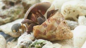 De krab van de kluizenaar op het strand stock videobeelden