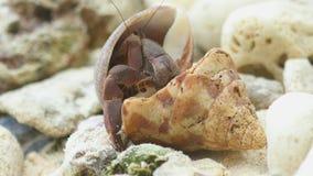 De krab van de kluizenaar op het strand stock footage