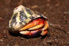 De Krab van de kluizenaar op St Kitts stock foto's