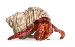 De krab van de kluizenaar - perlatus Coenobita royalty-vrije stock foto's