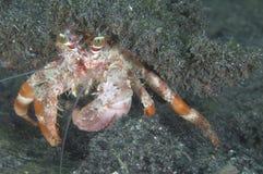 De Krab van de Kluizenaar van de anemoon royalty-vrije stock foto's