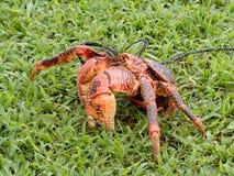 De krab van de kokosnoot Royalty-vrije Stock Foto's
