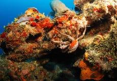 De krab van de koning op koraalrif Stock Afbeelding
