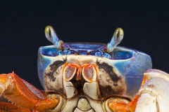 De krab van de regenboog Stock Foto