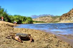De krab van de rivier op strand Royalty-vrije Stock Foto's