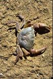 De krab van de rivier op zand Royalty-vrije Stock Afbeeldingen