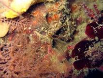 De krab van de spin Stock Foto's