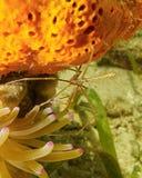 De krab van de Yellowlinepijl tussen spons en anemoon Stock Fotografie