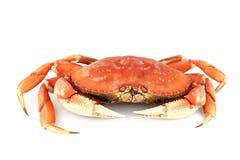 De krab van Dungeness Stock Afbeeldingen