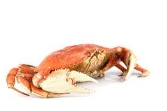 De krab van Dungeness Royalty-vrije Stock Afbeeldingen