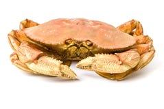 De Krab van Dungeness die op Wit wordt geïsoleerdp Royalty-vrije Stock Afbeelding