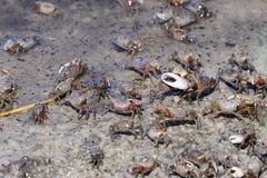 De krab van Fiddler, uca pugnax Royalty-vrije Stock Foto's