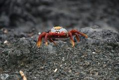 De krab van Galapgos Royalty-vrije Stock Fotografie