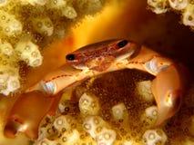 De krab van het koraal Stock Foto's