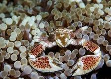De krab van het porselein Stock Afbeeldingen
