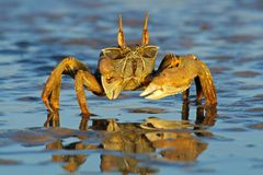 De krab van het spook op het strand Stock Afbeeldingen