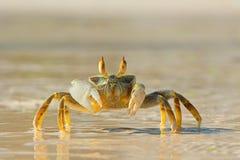 De Krab van het spook op strand Stock Foto's