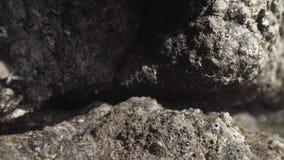 De krab van het Timelapsestrand op stenen in de aarddieren van Thailand stock video