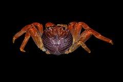 De krab van het zoutwater stock fotografie