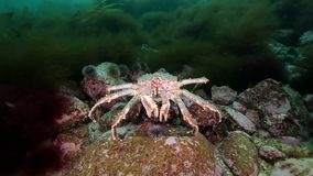 De krab van Kamchatka onderwater op zeebedding van de Barentsz Zee stock video