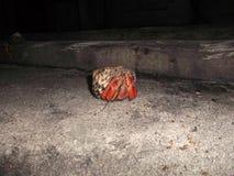 De krab van de kluizenaar royalty-vrije stock afbeeldingen