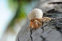 De krab van de kluizenaar Platte Eiland seychellen royalty-vrije stock afbeeldingen