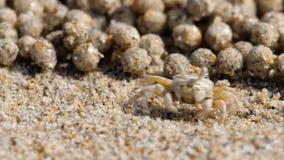 De krab van de zandwasfles, close-up stock videobeelden