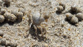 De krab van de zandwasfles, close-up stock footage