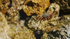 De krab zit op een rots op de kust van het Rode Overzees stock video