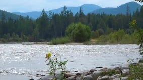 De krachtige bergrivier Oka Sayan stroomt zijn wateren onder taiga, op de achtergrond de bergen stock video