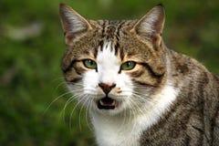 De krachtige kat ziet eruit Royalty-vrije Stock Afbeelding