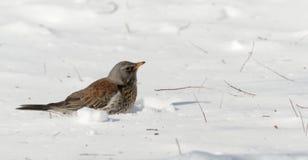 De kramsvogel zoekt voedsel sluit omhoog, Turdus-pilaris ukraine royalty-vrije stock fotografie