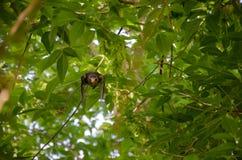 De Kramsvogellijster Stock Foto's
