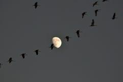 De Kranen en de maan van Sandhill Stock Afbeelding