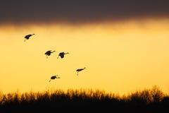 De kranen van Sandhill bij zonsondergang Royalty-vrije Stock Foto's
