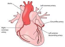 De kransslagaders van het hart royalty-vrije illustratie