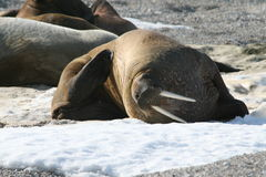 De kras van walrussen zelf op ijs Stock Fotografie