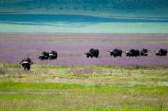 De krater van Ngorongoro van de buffelsmigratie, Tanzania Stock Afbeeldingen