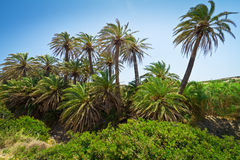 De Kretenzische palmen van de Datum met bananen op Kreta Stock Fotografie